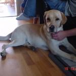 Bild: Ledarhunden Teodor, gul labrador retreiver