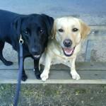 Bild: Fassi, ledarhund, svart labrador retreiver och Stina gul labraor retreiver