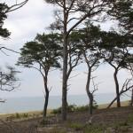 Bild: Träd på Gotska Sandön