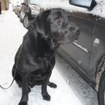 Labradoren Nimbus