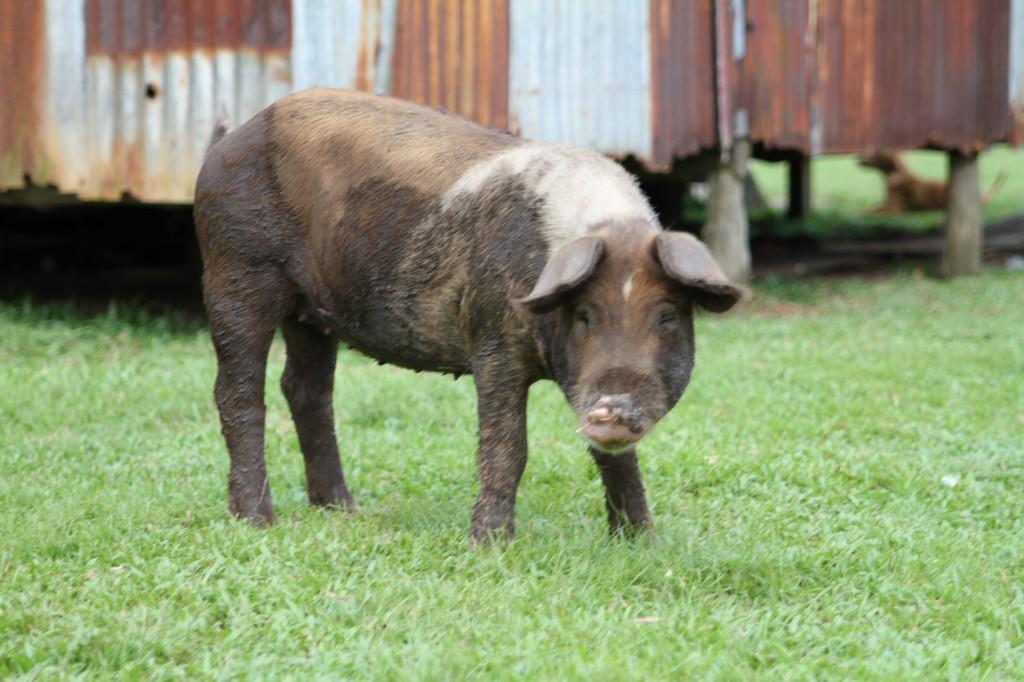 bild: en gris i Nicaragua