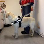 Bild: Flinga provar ny ledarhunds sele