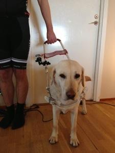 Bild: Ledarhund med actionkamera Garmin Virb Elite monterad på sele