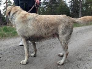 Bild: Ledarhunden Flinga som är blöt och smutsig