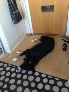 Bild: En Schäfer/Bordercollie-hund ligger på golvet i hallen
