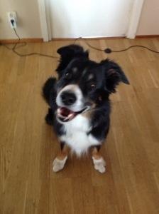 Bild: Schäfer/Bordercollie-Hund sitter och tiltar med huvudet